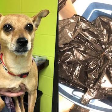 """""""Rue"""", the chihuahua found trapped inside a garbage bag and abandoned in Elmsford, NY."""